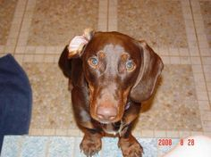Lost Dog Dachshund in GREENFIELD, IN.
