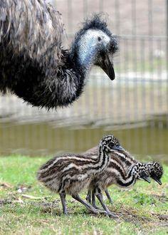 Emu chicks walk around at the Zoological Garden in Berlin, Germany.    - photo by Britta Pedersen / AFP - Getty Images