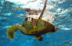 Hello cute little guy who lives in the waters around Hawaii. I want to swim with him!