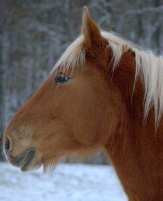 Comtois french draft horse