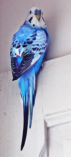 Reminds me so much of my sweet budgie named Phil.  I cannot believe he has been gone for just over 2 years now.  :(