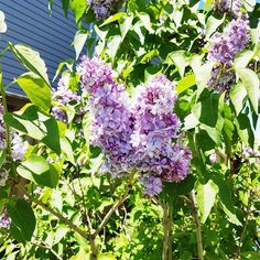 Enjoying the soft scent of lilacs wafting through the window from our backyard and wishing that lilac season lasted just a bit longer..💮
