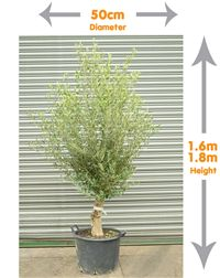 This stunning large Olive Tree offers an elegant look to any garden. The Olive Tree will look beautiful flanking any steps or doorways. Mediterranean Garden Design, Trees Online, Olive Tree, Topiary, Herbs, Landscape, Elegant, Plants, Beautiful