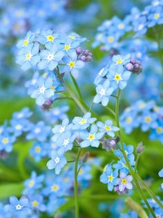 Forget-Me-Not. The brilliant azure blue of forget-me-nots becomes a focal point in the spring shade garden. Pair with epimediums and foamflowers or let them provide a colorful contrast with hostas and ferns. Zones -- add to the shade garden! Types Of Blue Flowers, Exotic Flowers, My Flower, Beautiful Flowers, Beautiful Gorgeous, Blue Spring Flowers, Birth Flower, Happy Flowers, Elegant Flowers