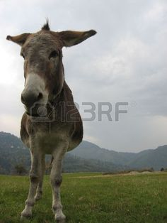 Picture of donkey stock photo, images and stock photography. Donkey, Cow, Stock Photos, Pictures, Photography, Animals, Image, Photos, Photograph