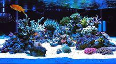 AJ_Tsin's 47g Shallow Rimless, ATI Powered, Zeo'd, w/ HD VIDEOS - Nano-Reef.com Forums