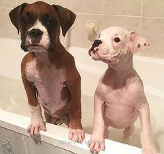 Boxer Dog Beautiful Photos  . Follow Us to See more!
