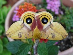 Automeris io - Io Moth