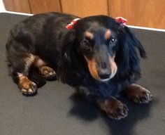 Short Pet Trim On A Long Haired Dachshund Francine Long Haired Dachshund Dog Groomers Dachshund Love