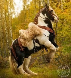 War Horse rearing up. What a strong gorgeous horse with fuzzy fur blanket saddle and interesting tack costume. I want to ride him! horse tack