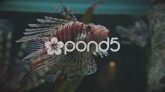Lion Fish Moving Slowly Exhibiting its Dangerous Poisonous Spines. - Stock Footage | by jay_blake