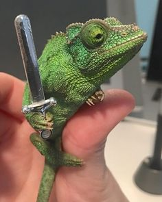 Chameleons will hold onto anything you give them - Imgur
