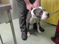 This DOG - ID#A581696  I am a male, blue and white Pit Bull Terrier.  The shelter staff think I am about 8 years old.  I have been at ...