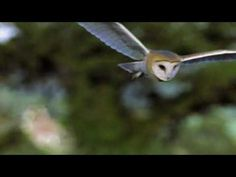 A three minute video explaining what makes Barn Owls so special. For more information go to http://www.barnowltrust.org.uk/