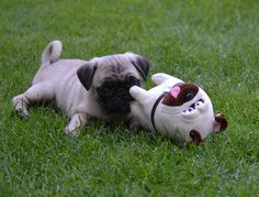 Cute Pug Puppy. Our Boo With His Pug Mel #cutepug #pugpuppy #melthepug #melpug