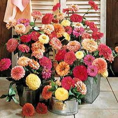 Cutflower lovers, this is the Zinnia you've been waiting for! Big, double 2 1/2- to 4 1/2-inch blooms arise over an extra-long season on plants so floriferous they just won't quit! This Full mix includes pastel shades of cream, yellow, rose, salmon, and cherry, plus bright golden, scarlet, and white. Great for garden or vase. 2 to 3 feet tall, 8 to 12 inches wide.