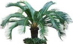 Tropical Houseplants Palm Trees - Check out the free plant identification mobile app at GardenAnswers.com