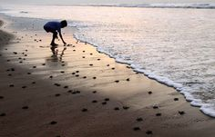Gahirmatha Beach -  is the world's most important nesting beach for Olive Ridley Sea Turtles.