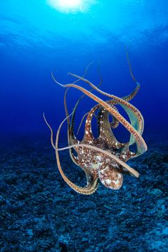 The Cyanea Octopus is native to the Pacific and Indian oceans. When at rest, the Cyanea Octopus is brown in color, however they have the ability to rapidly change the color and texture of their skin to blend into their surroundings as a defense mechanism.