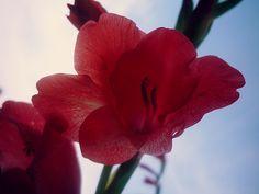 Gladiola - Flowers
