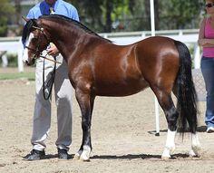 *Wedderlie Marmaduke - Imported Section B Welsh Pony stallion. National Res. Champion.