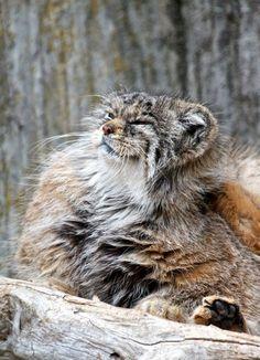 Felini/Gatto di Pallas(o Manul o Gatto delle Steppe- Otocolobus Manul)(Asia centrale):