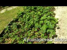 Сад и Огород. Как обработать грядку с постаревшей клубникой - Кушнаренко Марзия - YouTube