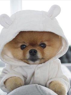 Amazing Boo Chubby Adorable Dog - 6451e77fcb6aa2a4087a606b251be923--k-pomeranian-teacup  Photograph_92670  .jpg
