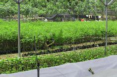 Sengon Solomon share Foto Bibit Sengon Solomon yang kami produksi yaitu Bibit Sengon Solomon Bermutu Tinggi