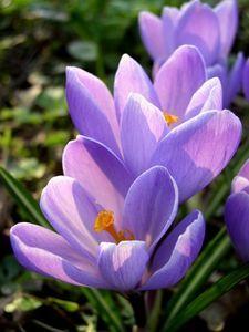 How do I Grow Saffron Crocus Bulbs?