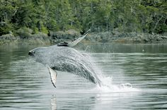 WHALE WATCHING! North Island Region | Vancouver Island Vacation Guide
