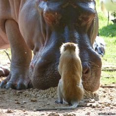 """Caroline Smith: """"This picture of a monkey and a hippo sharing their tea was taken at Haller Park, Mombasa - a former disused quarry that has been turned into a small private game sanctuary. Caroline Smith, Animal Attack, Private Games, Mombasa, Uk News, Hippopotamus, Kenya, Bbc, Boston Terrier"""