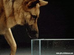 This is how dogs drink water: