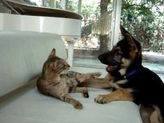 This will be my house someday...a giant Savannah cat and a giant German Shepherd...or two...of each...