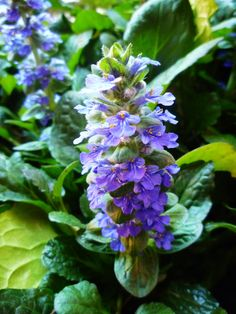 Ajuga Ground Cover Plant in Gardening Gifts for the Home Gardener Perennial Ground Cover, Ground Cover Plants, Real Plants, Growing Plants, Little Flowers, Colorful Flowers, Wild Ginger Plant, Mushroom Identification, Landscape Timbers
