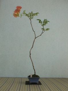 2008.彩夏涼風28 陵霄花 ノウゼンカズラ : 《 盆草遊楽 》 Bonsai Tree Care, Indoor Bonsai Tree, Bonsai Art, Japanese Indoor Plants, Mini Plants, Succulent Bonsai, Bonsai Garden, Arrangements Ikebana, Flower Arrangements