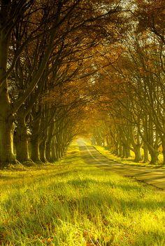 Beech Avenue in Dorset, England, UK