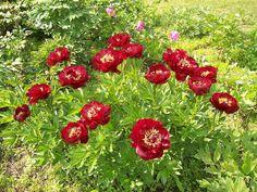 paeonia buckeye belle - Google Search