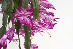 Grudnik jest stosunkowo łatwy w uprawie, ale ma specyficzne wymagania. mockingbird (morgfile.com)