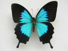 Ulysses Swallowtail Papilio ulysses ambiguus Rothschild, 1895 - List of butterflies of Australia - Wikipedia, the free encyclopedia Butterfly Jewelry, Blue Butterfly, Butterfly Wings, Blue Bird, Butterfly Mobile, Butterfly Effect Film, Perro Papillon, Most Beautiful Butterfly, Types Of Butterflies