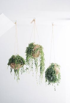 Indoor plants with bead-like leaves, string of pearls are usually planted in hanging baskets. The string of pearls indoor plants grows well in bright light. Cactus E Suculentas, Decoration Plante, Pot Plante, String Of Pearls, Deco Floral, Arte Floral, Cacti And Succulents, Hanging Succulents, Succulent Planters
