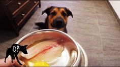 Pit mix eating raw fish fillets | Raw Fed Dog