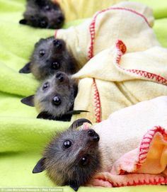 """Baby bats at the Bat Clinic in Advancetown, which has helped at least 130 baby bats after the wet weather. The winged mammals are bottle fed, wrapped up and hung on clotheslines until they are well enough to be released."""