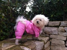 Poppy's new waterproof. Isn't she lovely?  Bichon bolognese dogs perros hund Puppy  fashionista fashion chubasquero raincoat Winter pets glamour luxury best friend www.poppyscornershop.com