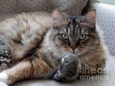 What Did You Say? - Maine Coon Cat photo by Marcia Lee Jones
