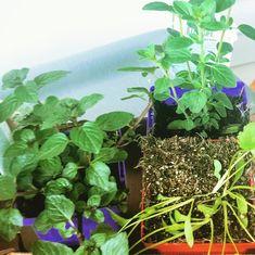My Very First #herbgarden 🍃🌿🌱 Herb Garden, Universe, Plants, Herbs Garden, Cosmos, Plant, Space, The Universe, Planets