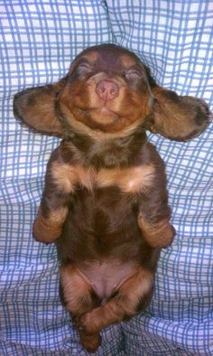 Da gone cute doxie