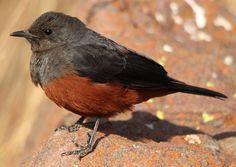 Mocking Cliff Chat, Myrmecocichla cinnamomeiventris --female-- at Marakele National Park, South Africa by Derek Keats, via Flickr