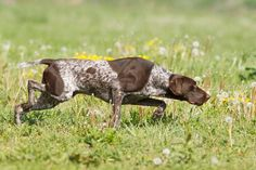 german shorthaired pointer | german-shorthaired-pointer-3
