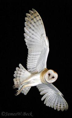 Barn Owl (Tyto alba schmitzi, Strigiformes) ©  James W Beck